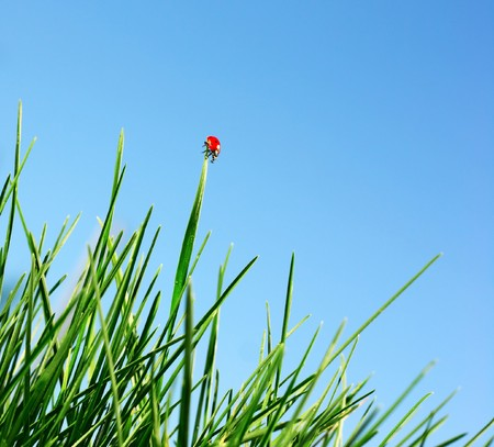 Ladybird on green grass blad over blue sky Stock Photo - 7556849