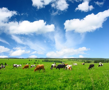 black and white farm: Cows on green meadow