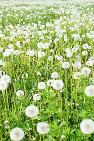 Field with fluffy dandelions photo