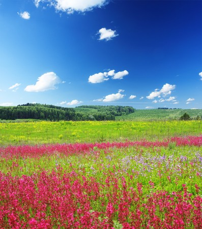 Meadow with wild pink flowers under blue sky with clouds Stock Photo