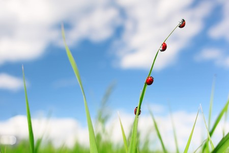 Four red ladybirds on green thin grass blade over blue sky Stock Photo - 7600062