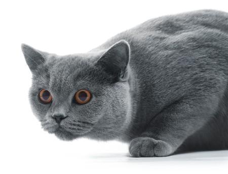 白い背景で隔離の猫 (ブリティッシュ ブルー)