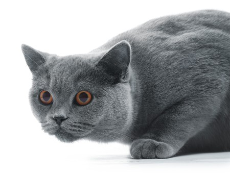 attacks: Cat (british blue) isolated over white background Stock Photo