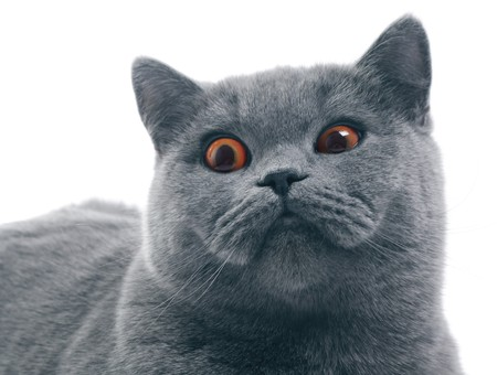 squinting: Cat (british blue) with funny squinting eyes isolated over white background Stock Photo
