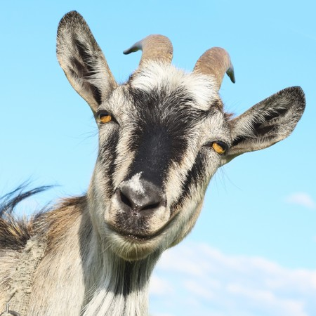 smiling goat: Smiling goat over blue sky background Stock Photo