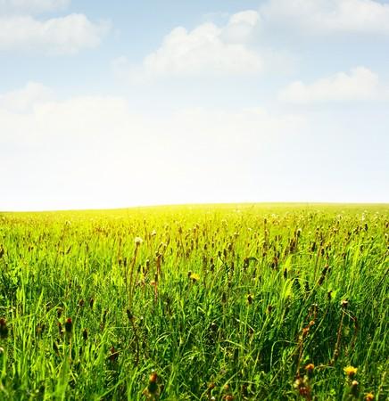 herbs wild: Prado verde con hierbas silvestres y cielo azul con nubes
