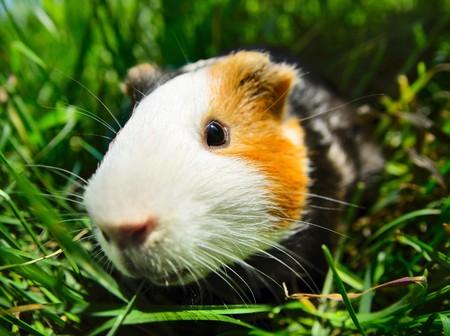 Cavy sitting in green grass. Focus on eye photo