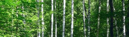 晴れた日に夏の森の白樺