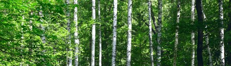 birch bark: Birches in summer forest in sunny day
