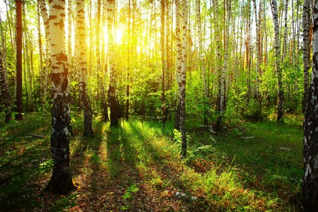 birch bark: Sunlight in forest