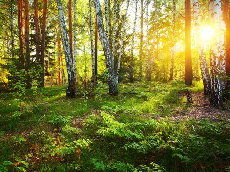 foret de bouleaux: Les rayons du soleil dans la for�t profonde sauvage  Banque d'images