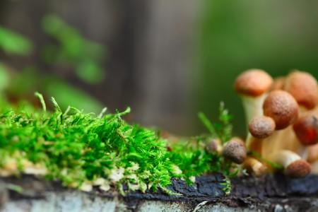 agaricus: Group of mushrooms (Agaricus mutabilis) near moss. Focus on moss