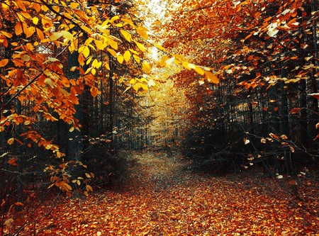 fallen leaves: Path in autumn forest