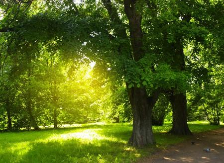 feuille arbre: Arbres verts dans le parc et la lumi�re du soleil