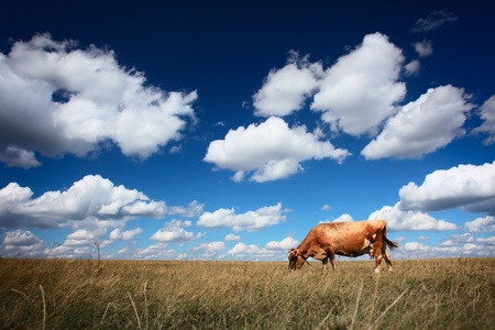 dry grass: Cow on dry meadow and blue sky with clouds