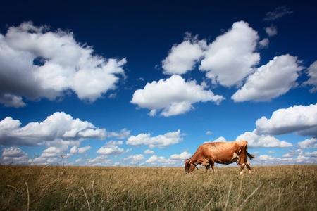 cattle: Las vacas en la pradera seca y cielo azul con nubes