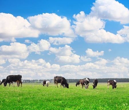black and white farm: Cows grazing on meadow under blue cloudy sky