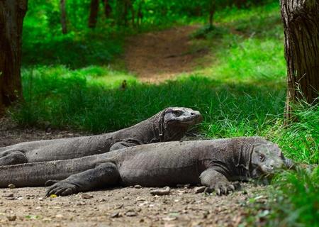 Komodo dragons lying near green grass and looking to somwhere. Rinca island. National park Komodo. photo