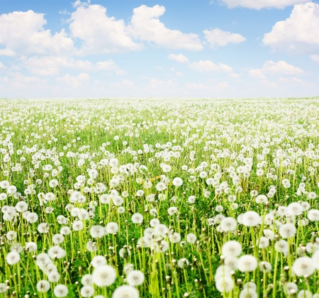 blue dandelion: Field with blooming dandelions and blue sky with clouds Stock Photo