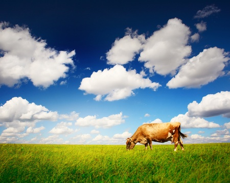 grazing land: Cow on green grass and blue sky with light