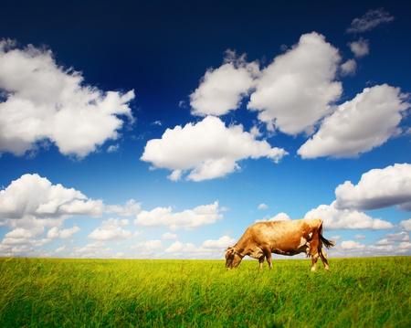 vaca: Vaca en pasto verde y el azul cielo con luz Foto de archivo