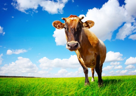 Brown cow standing on green meadow on cloudy sky background and looking to a camers Stock Photo