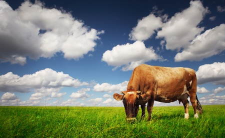 Cow eating green grass on a meadow on blue cloudy sky background. photo