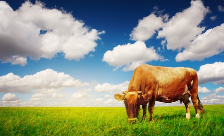 Cow on green grass and blue sky with light photo