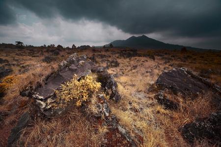 Yellow plant on volcano soil. Volcano Agung. Bali photo