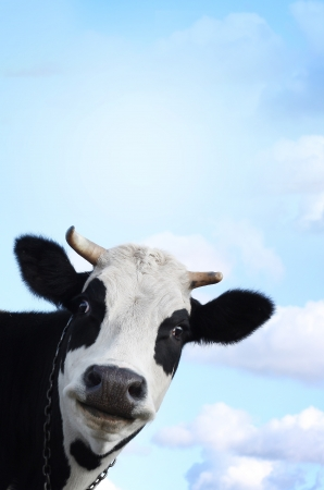 Funny smiling cow on blue sky background with copyspace photo