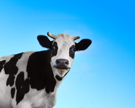 Funny smiling black and white cow on blue clear background photo