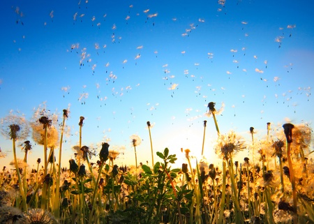 Dandelion flowers with flying seeds on sunset sky background Stock Photo - 9908530