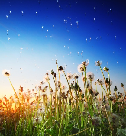 Dandelion flowers with flying seeds on sunset sky background photo