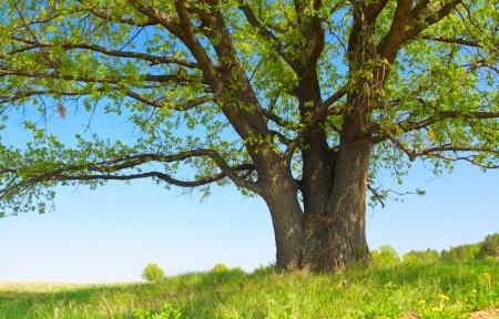 Großer Baum mit frischen grünen Blättern und grünen Frühlingswiese Standard-Bild