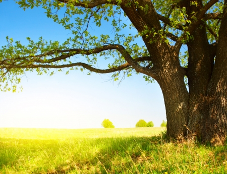 oak tree: Big tree with fresh green leaves and green spring meadow