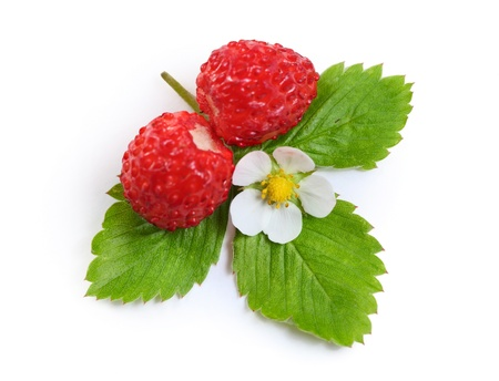 Wild strawberies with green leaves and flower isolated on white photo
