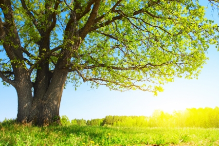 Big tree with fresh green leaves and green spring meadow photo