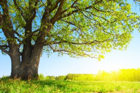 hojas de arbol: Gran árbol con hojas verdes frescas y pradera verde primavera