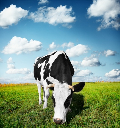 Cow eating green grass on a meadow Stock Photo