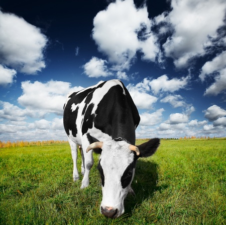 Cow eating green grass on a meadow Stock Photo - 10676196