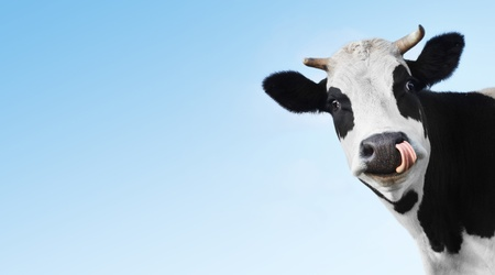 cow head: Crazy smiling cow with tongue looking to a camera on blue clear background with copyspace