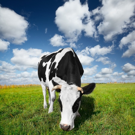 Cow eating green grass on a meadow photo