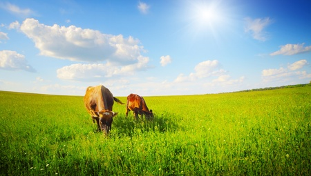 Two cows baby and mother grazing on a green meadow. Distorted horizon version
