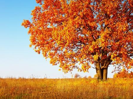 Big jesień dąb z czerwonymi liśćmi na niebieskim tle nieba