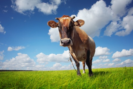Brown cow standing on a green meadow and looking to a camera Stock Photo - 11149670