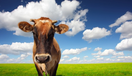 Brown cow standing on a green meadow and looking to a camera