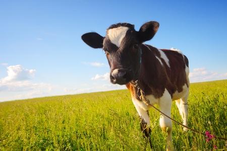 푸른 맑은 하늘 배경에 잔디와 초원에 종아리 스톡 콘텐츠