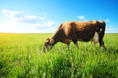 Brown cow eating green grass on meadow at sunny day