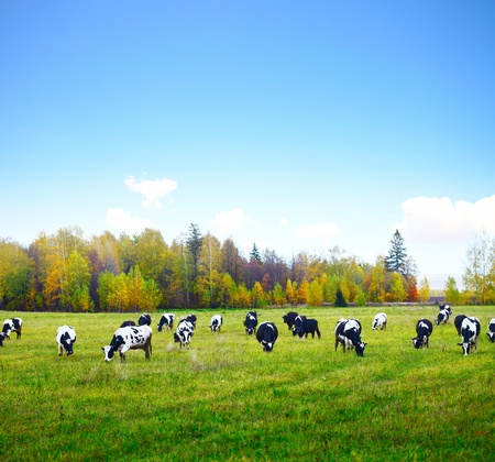 dairy farm: Herd of cows grazing on a green meadow with autumn forest and blue sky on a background
