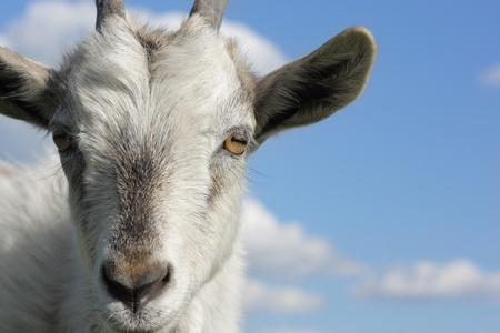 青い空を背景にヤギのクローズ アップ撮影します。 写真素材
